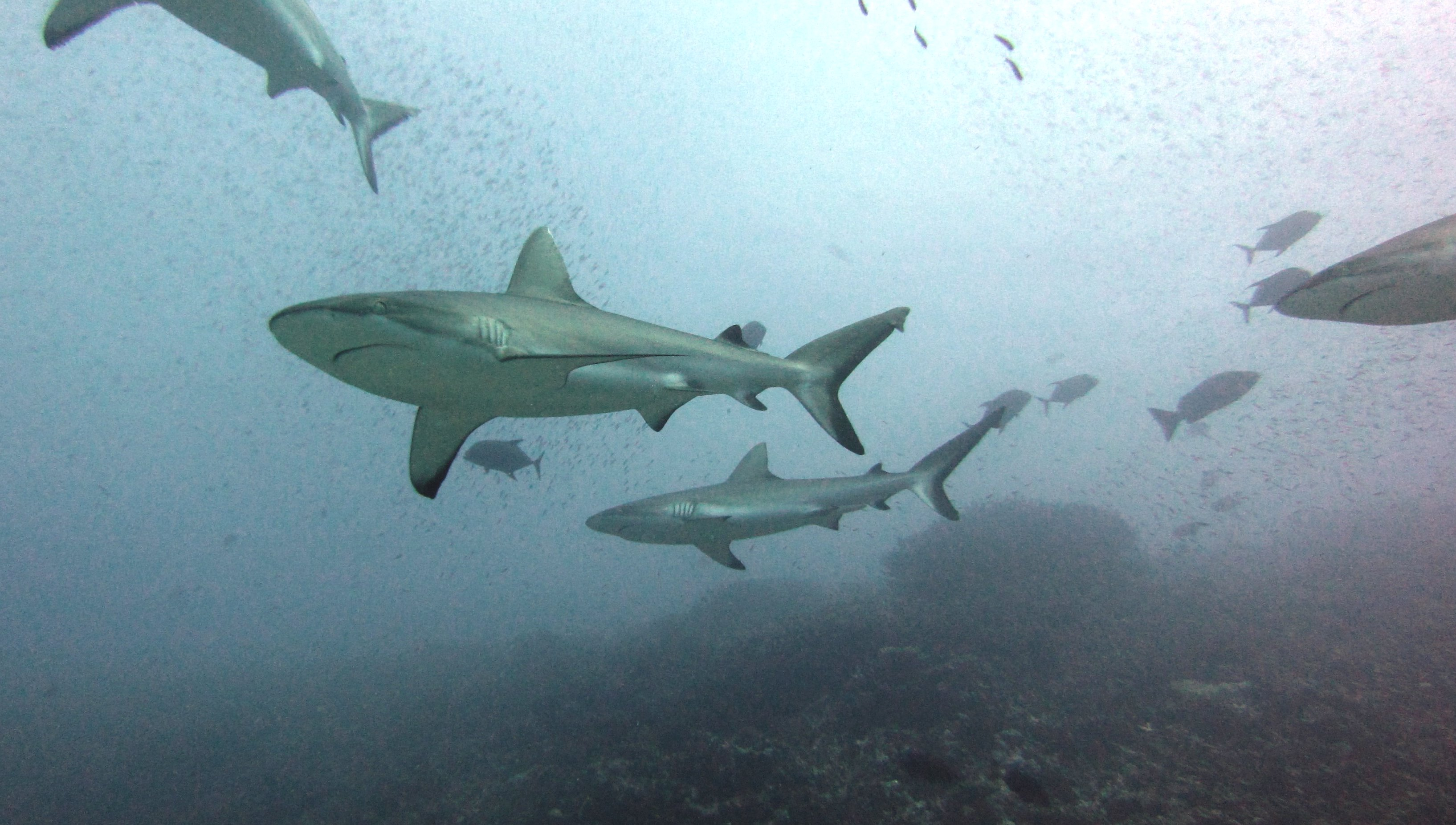 Sharks - Gray reef